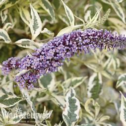 Buddleja 'Butterfly Gold'