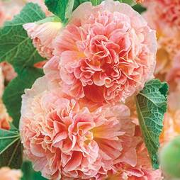 Hollyhock 'Chater's Apricot'