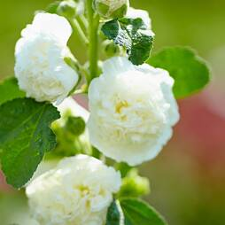 Hollyhock 'Chater's White'