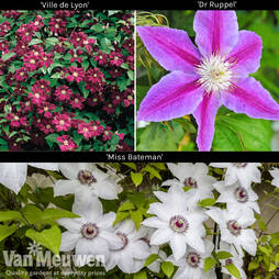 Large Flowered Clematis Collection