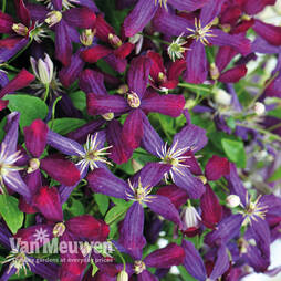 Clematis 'Sweet Summer Love' Collection