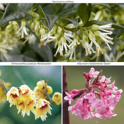 Scented Winter Shrub Collection
