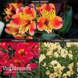 Alstroemeria 'Summer Collection'