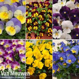 Nursseryman's Choice Pansy Coolwave Collection