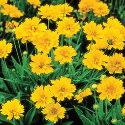 Coreopsis grandiflora 'Golden Joy' (Garden ready)