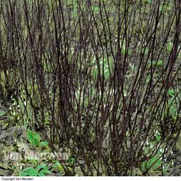 Cornus alba 'Kesselringii'