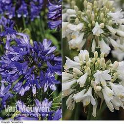 Agapanthus 'Ever Duo' (1 White, 1 Sapphire)