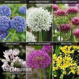 Allium Cottage Garden Collection