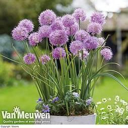 Allium carolinianum 'Rosy Dream'