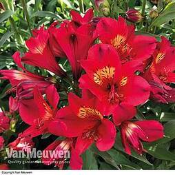 Alstroemeria 'Summer Lovely'