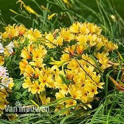 Alstroemeria 'Spring Valley' (Summer Paradise Series)
