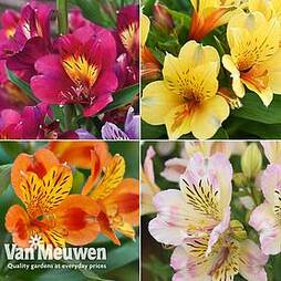 Alstroemeria Nurserymans Choice Mix