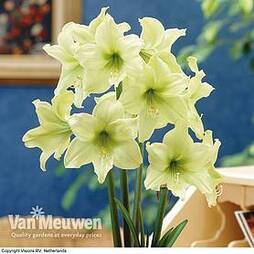 Amaryllis 'Lemon Star'