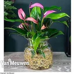 Anthurium Aqua Pink in Sierglass (House Plant)