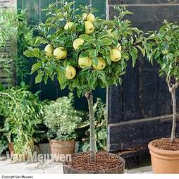 Apple 'Golden Delicious' (Mini Fruit Tree)