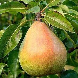 Pear 'Doyenne du Comice' (Mini Fruit Tree)