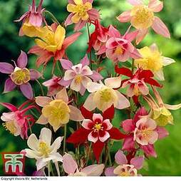 Aquilegia x hybrida 'McKana Giants Mixed'