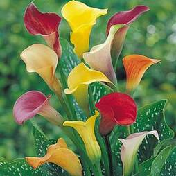 Calla Lily 'Spectrum Mix'