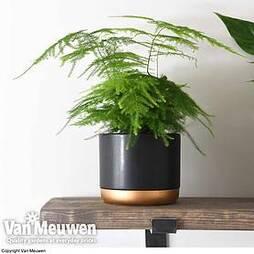 Asparagus setaceus (House Plant)