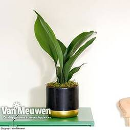 Aspidistra elatior (House Plant)