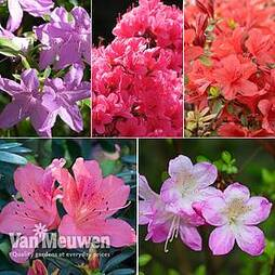 Nurseryman's Choice Evergreen Azaleas
