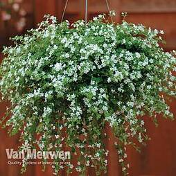 Bacopa 'Snowtopia'