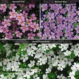 Bacopa 'Baristo® Collection'