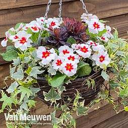 Starry Eyes Mix (Pre-Planted Basket)