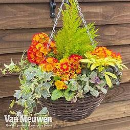 Autumn Sunset Mix (Pre-Planted Basket)