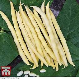 Climbing Bean 'Sunshine'