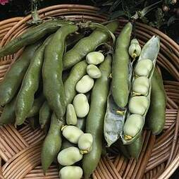 Broad Bean 'The Sutton' (Start-A-Garden™ Range)