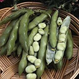 Broad Bean 'The Sutton' (Start-A-Garden™ Range)