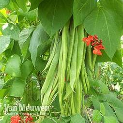 Runner Bean 'Firestorm'