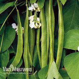 Runner Bean 'Moonlight'