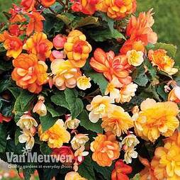Begonia 'Apricot Shades'