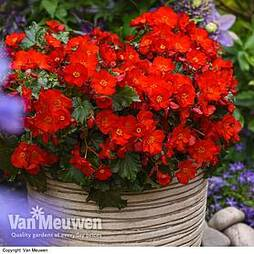 Begonia elatior 'Dreams Garden MacaRouge'