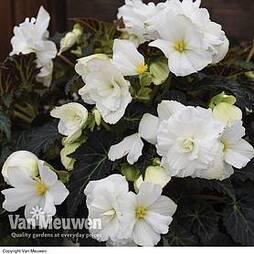 Begonia 'Non-Stop Joy Mocca White'