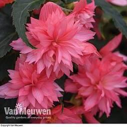 Begonia 'Funky Pink'