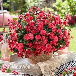 Begonia 'Vermillion Hot Pink'