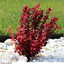 Berberis thunbergii f. atropurpurea 'Orange Rocket'