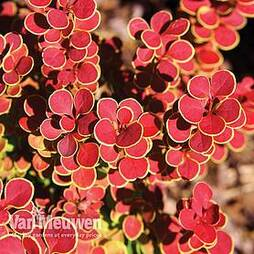 Berberis thunbergii 'Orange Sunrise'
