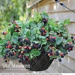Blackberry 'Black Cascade'