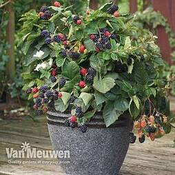 Blackberry 'Opal' (Dwarf)
