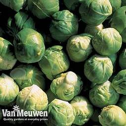 Brussels Sprout 'Crispus' F1 Hybrid