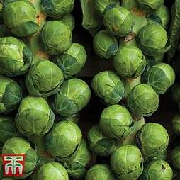 Brussels Sprout 'Attwood'