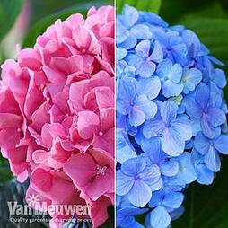 Hydrangea macrophylla 'Bela Collection'