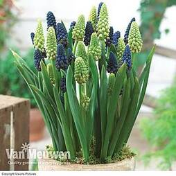 Giant Grape Hyacinth 'Bellevalia Mixed'