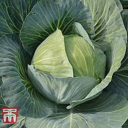 Cabbage 'Gilson' F1 Hybrid (Autumn)