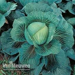 Cabbage 'Kilaton' F1 Hybrid (Autumn)
