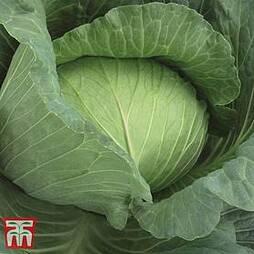 Cabbage 'Tamarindo' (Autumn)